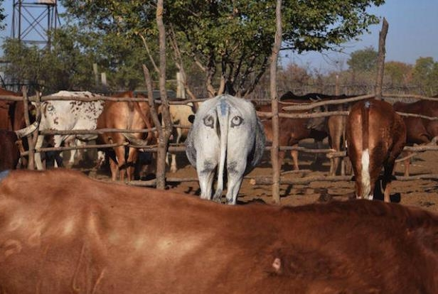 Researchers Are Painting Eyes on Cow Butts in the Name of Conservation