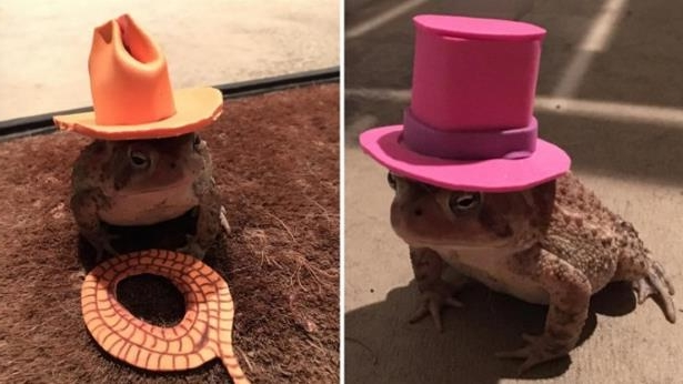 85cd99680efa9 Weird News  Man Makes Tiny Custom Hats for Toad That Shows Up on His ...