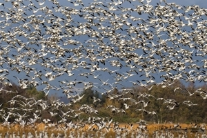 Snow geese numbers continue to soar out of control in Fraser Delta