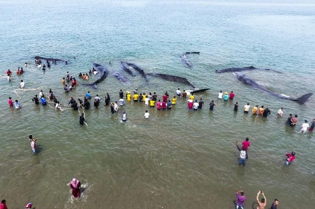 Environmental activists in Indonesia tred to refloat nine beached sperm whales but four of them died