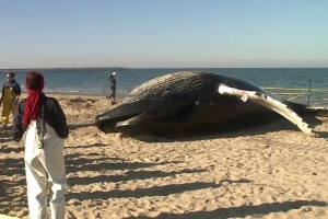Mystery on the Beach as Massive Humpback Whale Washes Ashore: 'We Don't Know What Killed Her'