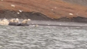 Dozens of polar bears feast on whale