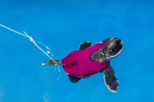 Tiny treadmill tests baby sea turtle endurance in study of Florida beaches