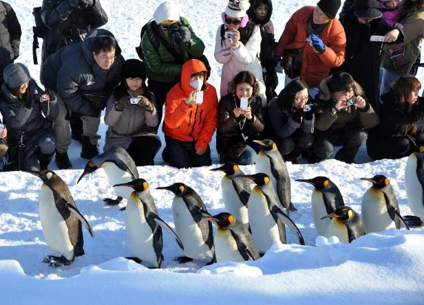 King penguins generally don't mind winter weather, as this file photo from a Japanese zoo attests, but zookeepers in bitterly cold Calgary, Canada had to draw a line in the snow and bring their 10 kings indoors