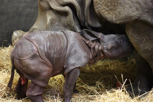 The Toronto Zoo says a greater one-horned rhinoceros calf, shown in this supplied image, is its first newborn animal of 2018.