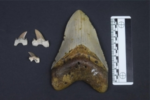 New Ancient Shark Species Discovered in Alabama