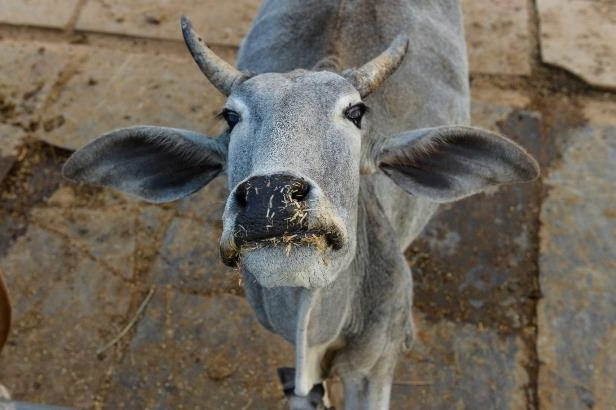 A cow wandering onto the runway is just the latest animal to delay flights from Ahmedabad airport