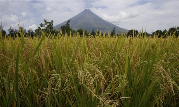 a close up of a plant: Rice stalks ready for harvesting are pictured at a rice field overlooking Mayon volcano in Daraga, Albay