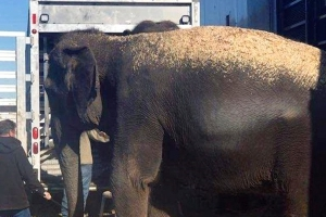 Elephants wait for ride on Oklahoma highway after trailer stalls