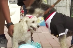 Dogs Don Gowns and Tuxedos During Valentine's Day Wedding Ceremony