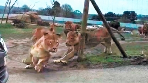 Car trampled by pride of lions