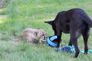 Cheetah Cub and Puppy Are the Best of Friends