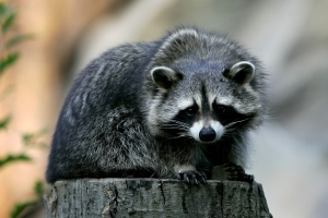 Pet-Owners Warned Of 'Zombie-Like' Raccoons In Ohio