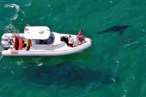 Great white shark ecotourism off Cape Cod is a growing concern