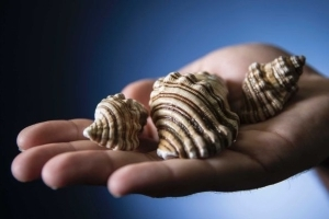 Sea snail venom could be 'the holy grail' in pain therapeutics