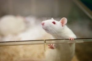 Rats Can Accurately Detect This Disease in Humans