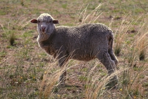 Sheep deaths spark live export ban call
