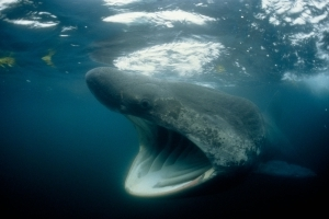 Swarms of Huge Sharks Discovered, Baffling Experts