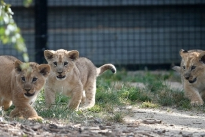 8 lion cubs killed in suspected poison attack: report