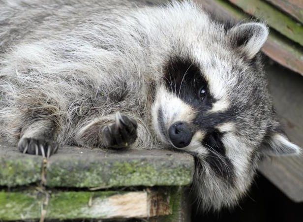 File picture of a raccoon. The raccoon in Indianapolis was eventually taken home to sleep off its high.