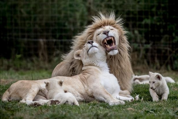 Slide 1 of 35: A white lioness Tia and white lion Aga play with their 10 weeks old cubs in their enclosure at a private zoo in Dvorec, Czech Republic, 14 July 2017. The animals, four females and a male, were born on 04 May 2017. Quintuplets of white lions are extremely rare in one litter because usually it is not more than four. According to zoo's director Viktor Ambroz, they are the first white lion cubs in history of Czech and Slovak zoos. White lions (Panthera leo krugeri) are not albinos but a genetic color rarity of African lion living in only one place on earth, in the South African Timbavati and Kruger National Park areas. According to the Global White Lion Protection Trust, there are hundreds of white lions in captivity but less than 13 in the wild.