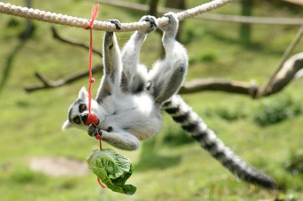 Slide 14 of 35: The Ring Tailed Lemur were set an assault course ahead of the Bear Grylls Survival Academy at ZSL Whipsnade zoo on July 25, 2017 in Whipsnade, England.
