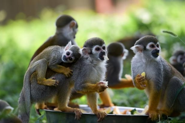Slide 21 of 35: Squirrel monkeys eat fruits at Hefei Wildlife Park in Hefei, capital of east China's Anhui Province, July 18, 2017.