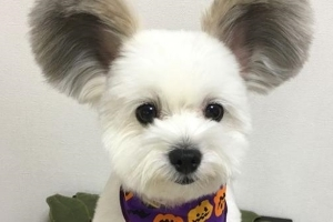 Dog and her giant fluffy mouse ears quickly become an internet sensation