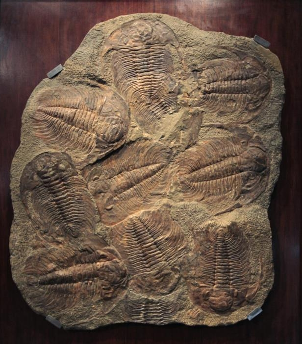 An intact trilobite fossil was discovered by an 11-year-old. Pictured, an Acadoparadoxides briareus trilobite, which is 110x100cm (42,90x39in) and is displayed at Sotheby's auction house in Paris.