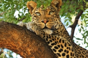 Toddler, 3, eaten by leopard at tourist park