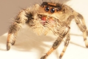 Scientists train spider to jump on demand