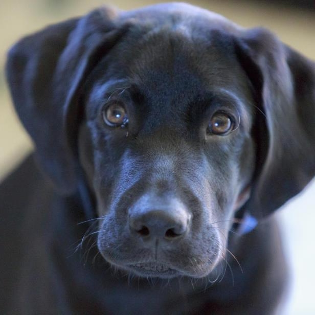 a brown and black dog that is looking at the camera: Black lab puppy close up.