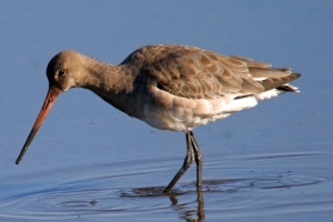 Rare black-tailed godwit eggs rescued from farmland after flooding