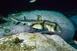 Sharks Prefer Jazz Over Classical Music, Study Finds