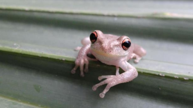 a frog on a white surface: An invasive Cuban treefrog in New Orleans.