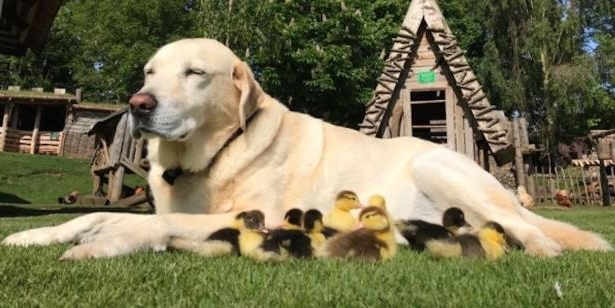 a dog lying on the grass: Fred labrador ducklings adopted Mountfitchet Castle Essex England