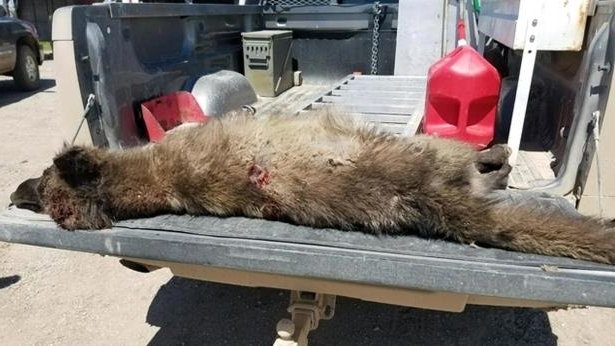 Montana Werewolf Corpse case solved : OR so they say.... Mysterious-wolf-like-creature-in-montana-has-wildlife-experts-scratching-their-heads__625837_