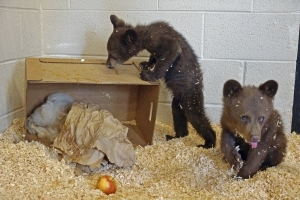 Wildlife park: Bear cubs rescued after mother is euthanized