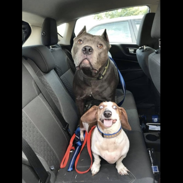 A blind dachshund named O.J. and a pit bull named Dozer, who acts as his seeing-eye dog, have found a forever home and were adopted together: screen-shot-2018-06-04-at-8-26-25-am.png