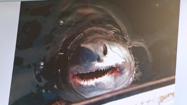 a close up of a fish: The fierce-looking shark is sometimes confused with its larger relative, the great white shark, due to its similar body profile.