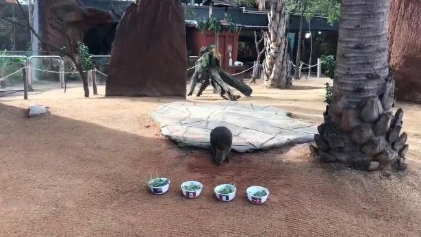 a person sitting at a zoo: 12 June, 2018: Davey the psychic quokka gave his prediction for who will finish top of Group C, featuring the Socceroos.