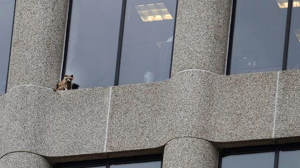 a cat sitting on top of a building: A raccoon sits on the ledge of an office window in the UBS Tower in downtown St. Paul, Minn., Tuesday, June 12, 2018.