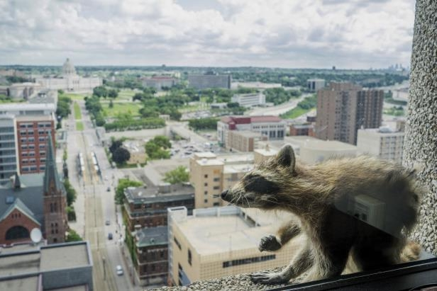 A stranded raccoon: A raccoon stretches itself on the window sill of the Paige Donnelly Law Firm (AP)