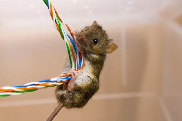 Ownership: Why Rodents are Chewing up Car Wires and What You Can Do