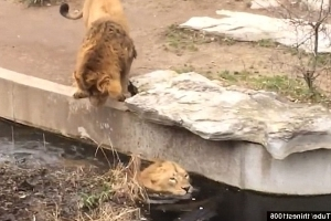 That will have dented his pride! Distracted lion loses his footing and tumbles into a pond in a German zoo as his friend looks very concerned