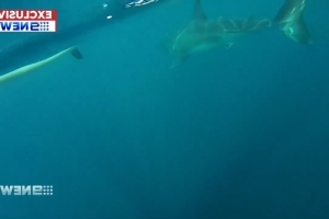 'It's chasing me': Great white shark circles kayakers