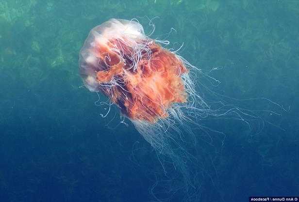 A lion's mane jellyfish spotted by Ann Dunne in Ireland as swarms of powerful jellyfish are descending on beaches in the British Isles