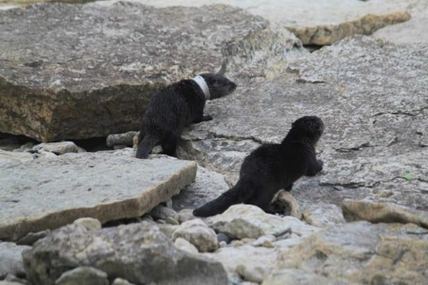 a dog sitting on a rock: Jani Witoski spotted this baby otter with a ring around its neck at Hecla Island on Saturday.