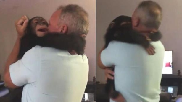 Limbani the Chimp Goes Bananas as He Reunites With Couple Who Raised Him