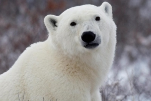 Nunavut man killed by polar bear while protecting his children
